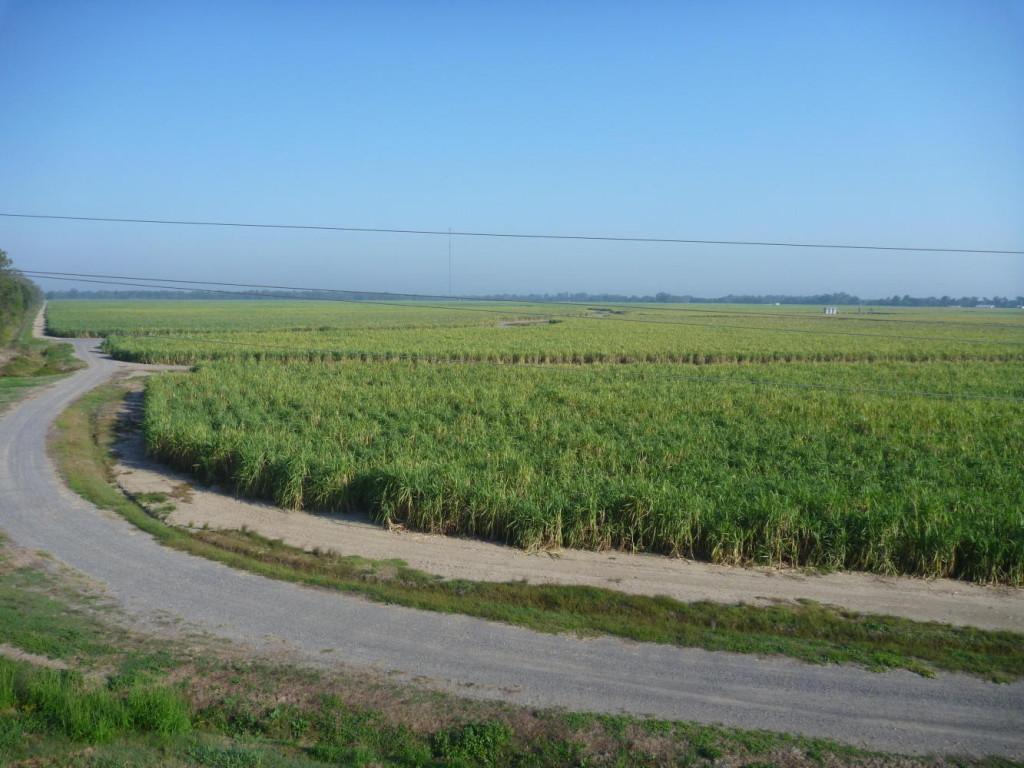 A morning ride through the sugar cane fields.