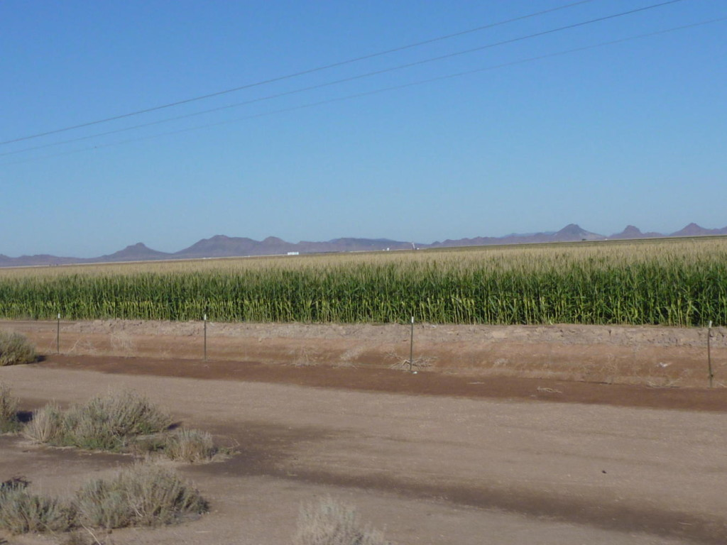 Corn in the desert!