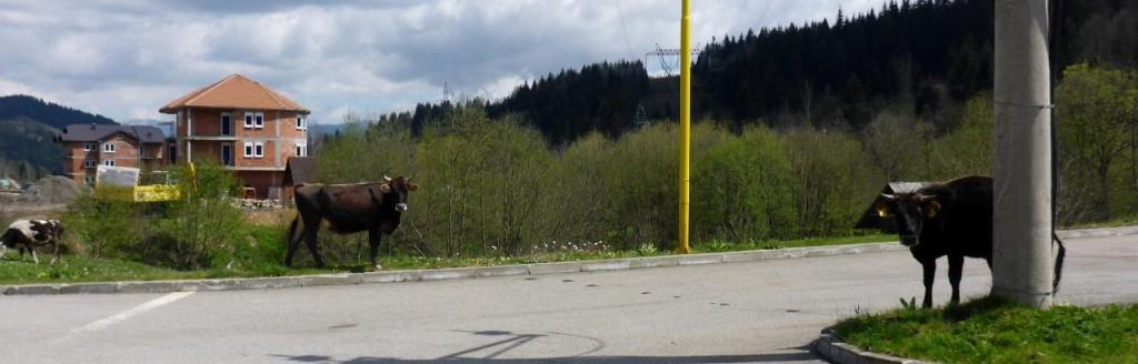 The next village had steers wandering around.
