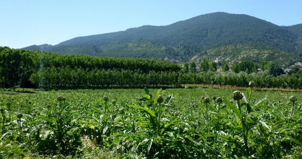 Artichoke fields.