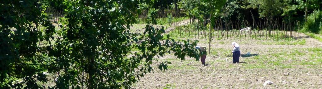 Women working the fields.