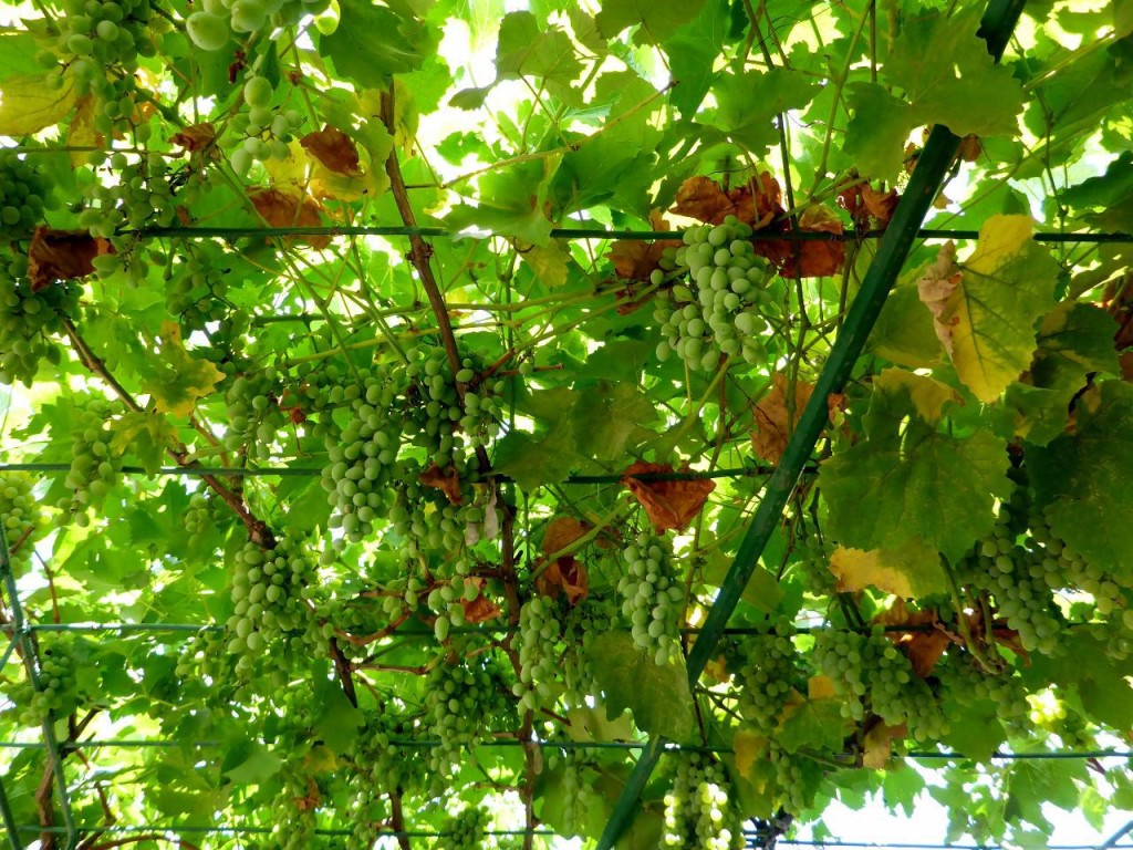 which included fresh grapes from the vine...