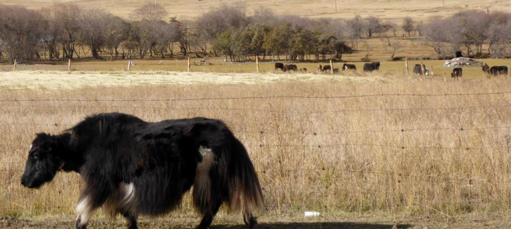 Our first Yak.