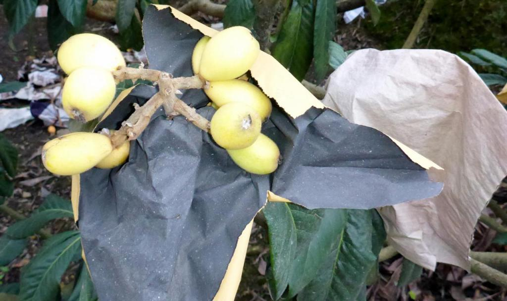 Excellent fruit that is grown on all the hillsides and covered with a bag. The fruit is peeled and there is one small seed inside. So delicious.