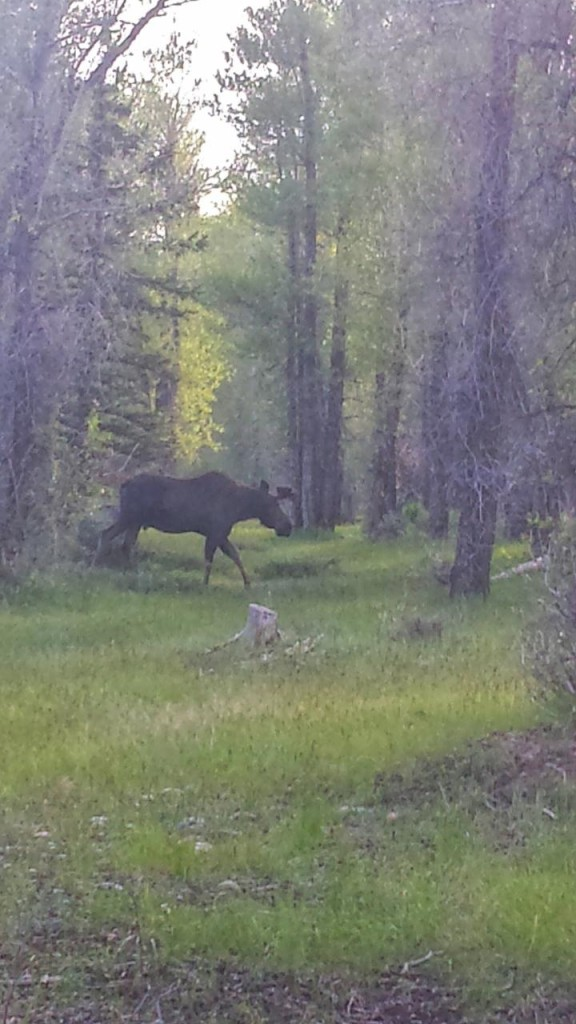 Moose in our Yellowstone camp.