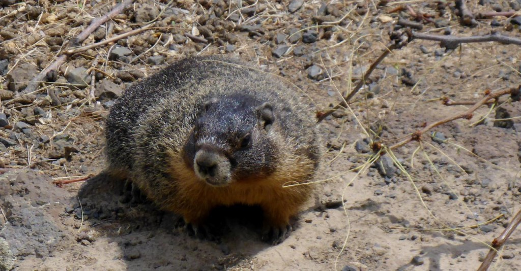 There were many marmots running around.