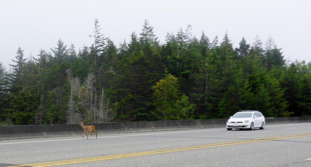 Deer everywhere, here crossing a bridge.