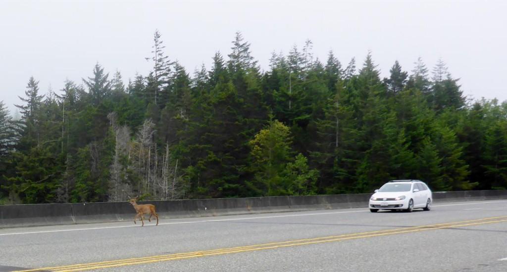 Deer everywhere, here crossing a bridge.