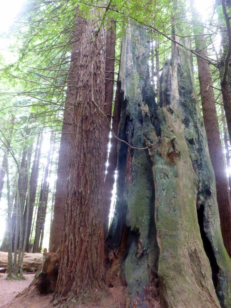 Our first redwood trees.