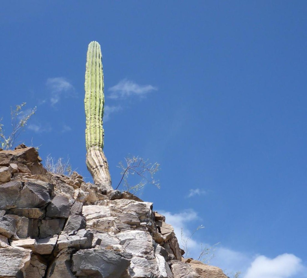 A cactus that may soon fall.
