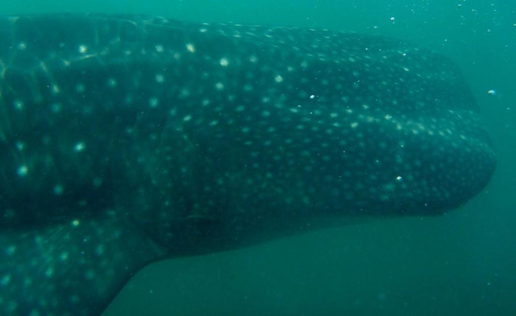 A whale shark - Tiburon Ballena.
