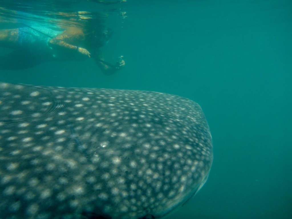 One of the coolest things we have ever done - swimming with whale sharks!