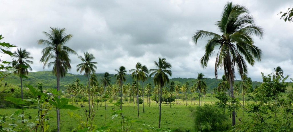 Coconut and banana plantation.