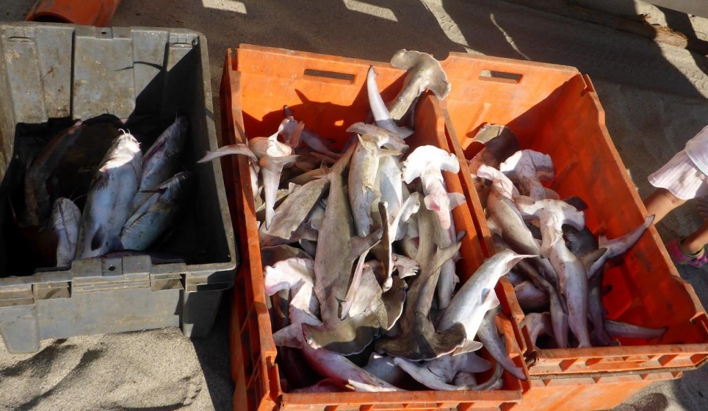 ...as the little fish don't have a chance. We used to catch lots of Bonnet Head sharks such as this in Florida. We threw them all back. Maybe these little ones are good in soup.