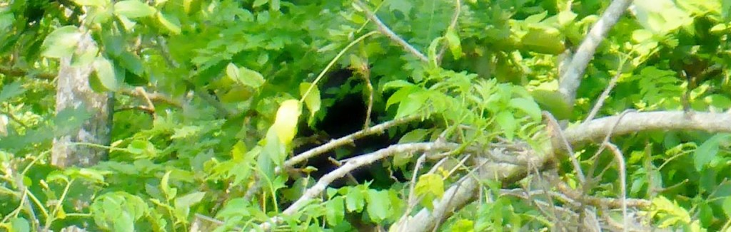 The last few days we have ridden through areas of howler monkeys. This is the best picture we got of one. The jungle here is so alive with noises.