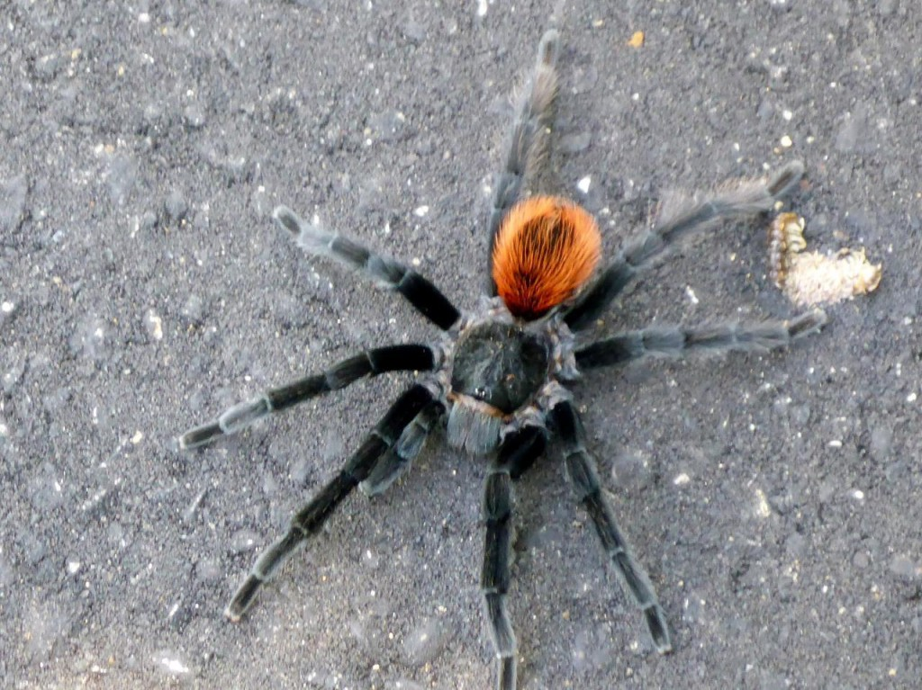 Our first live tarantula. They are very fast!