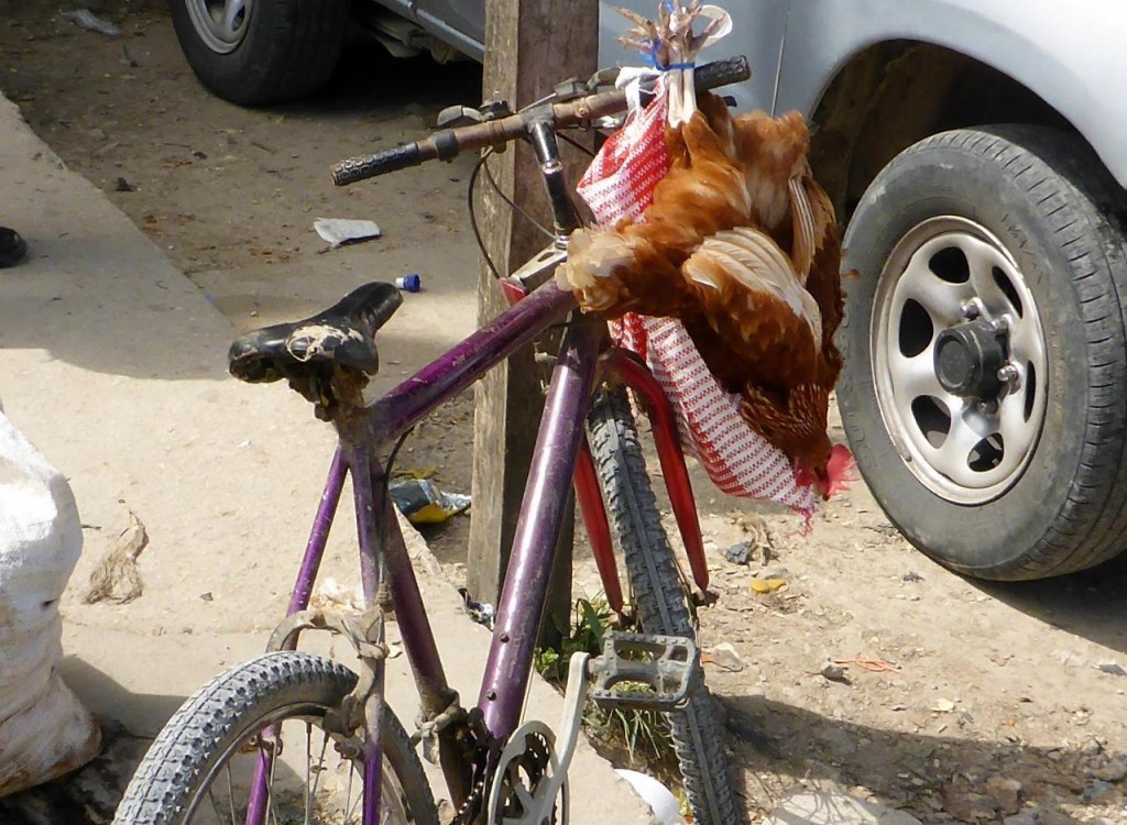 Even chickens like riding on bikes! These two were alive.