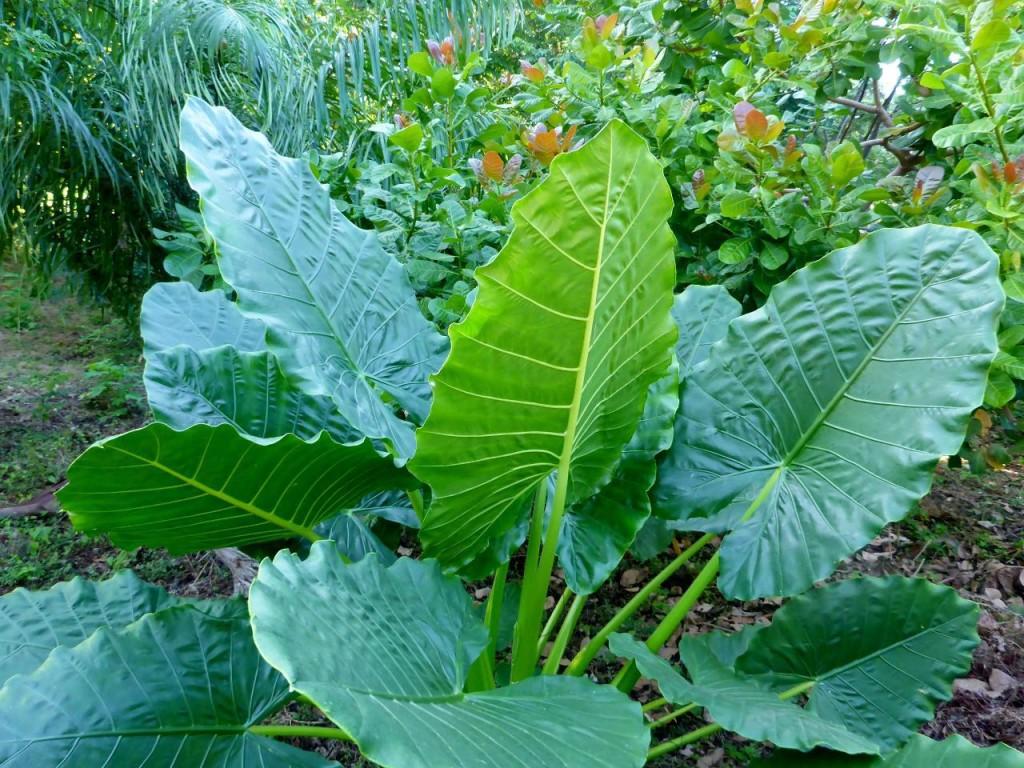 I like big leaves on tropical plants.