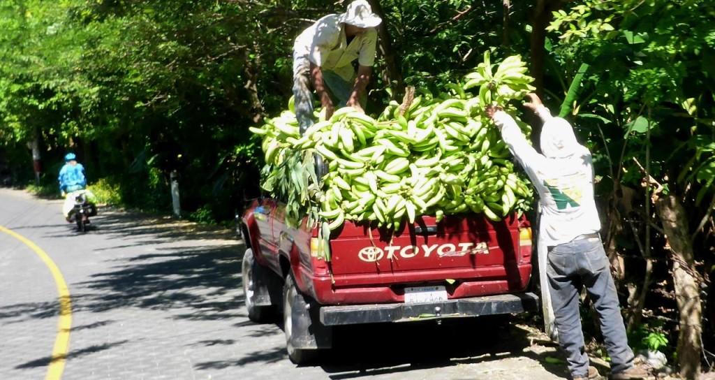 Plantain harvesting.