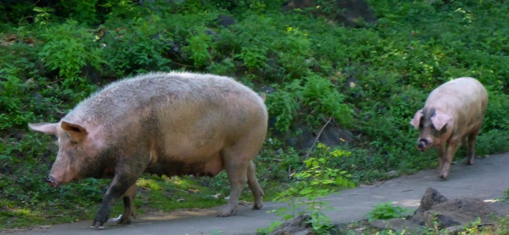 I think this pig will soon be on the dinner plate.