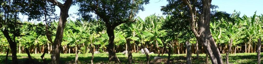 A plantain plantation.