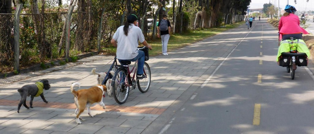 This guy is really talented riding his bike and walking 4 dogs!