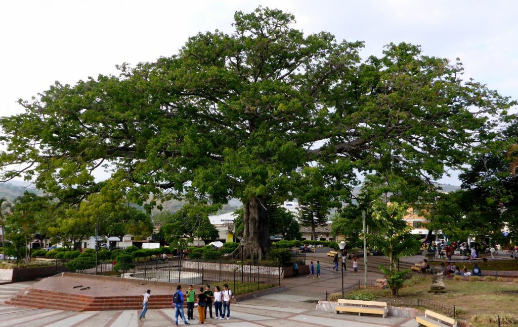 A very large tree in the center of town.