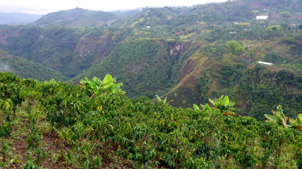 Colombia coffee grown on the mountainside.