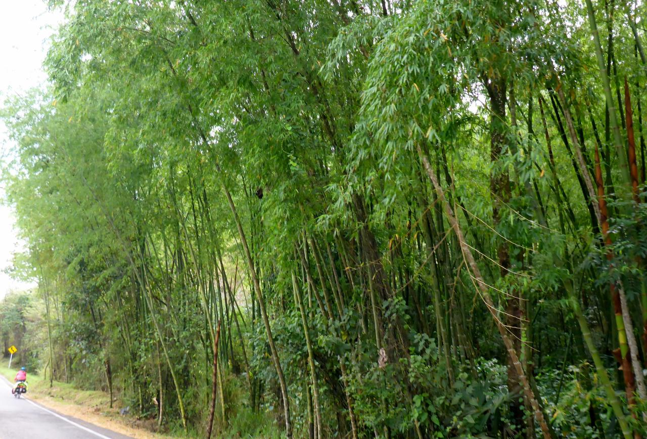 Bamboo lining the road.
