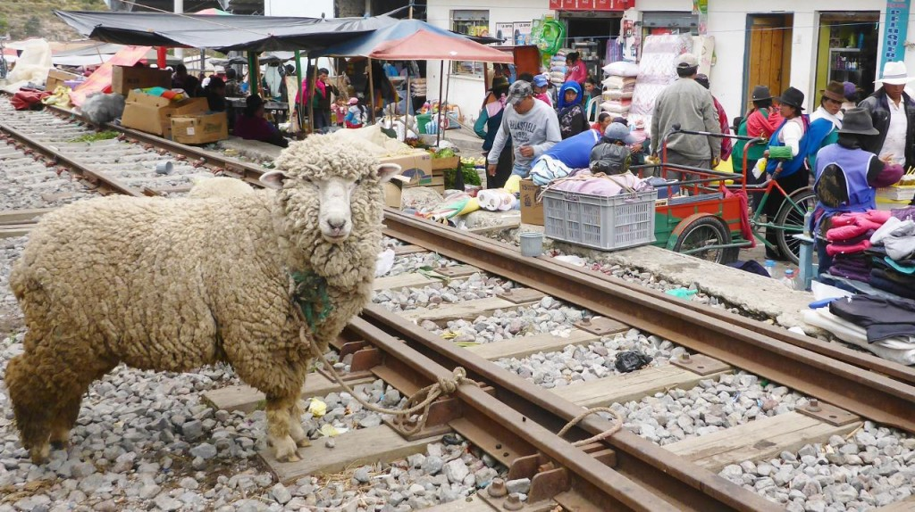 "Sheep: ""When does the train come and cut this rope so I can get outta here?"""