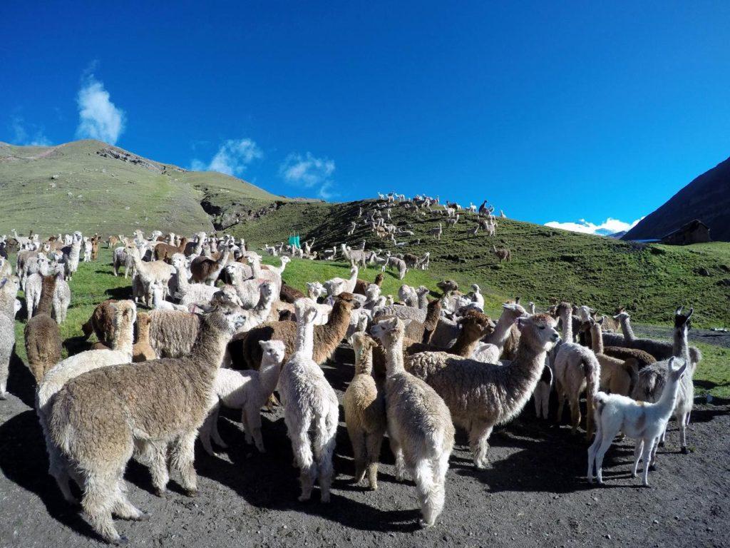 llamas and alpacas.