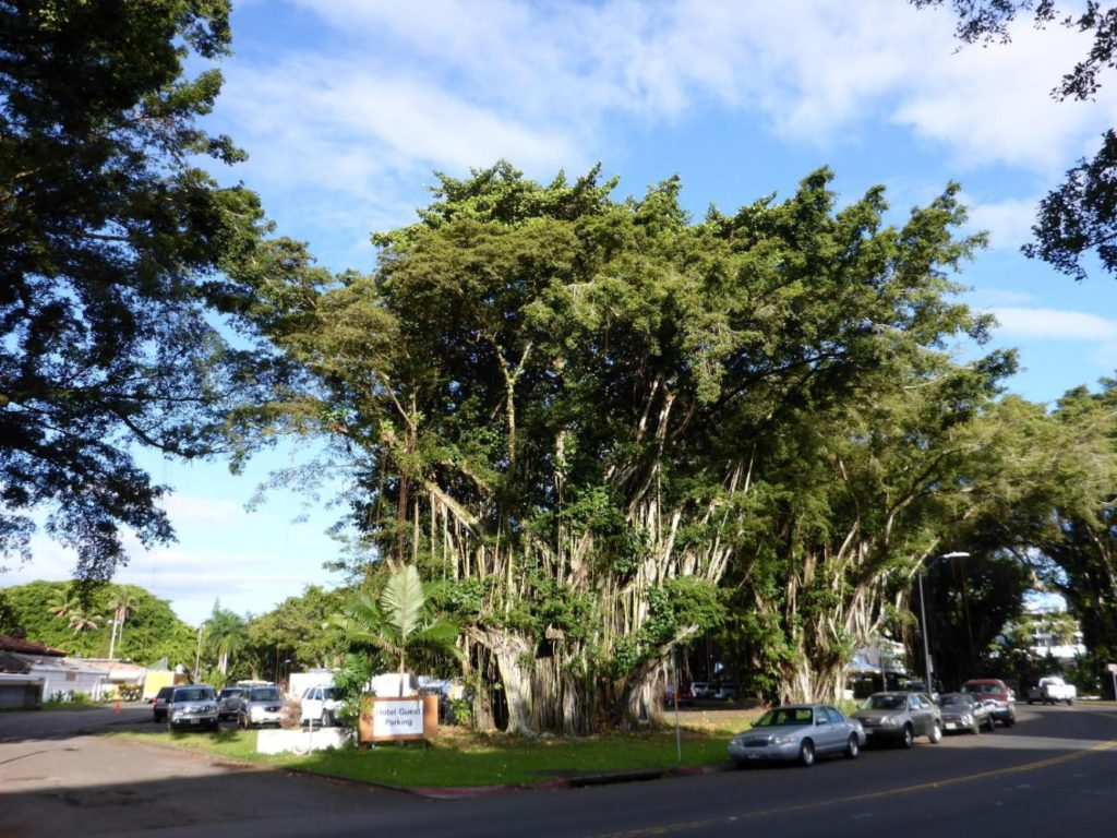 Hilo is full of banyan trees.