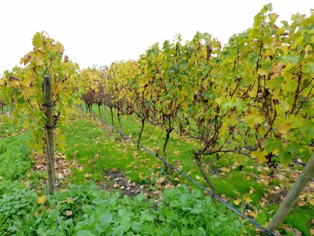 A fine vineyard.