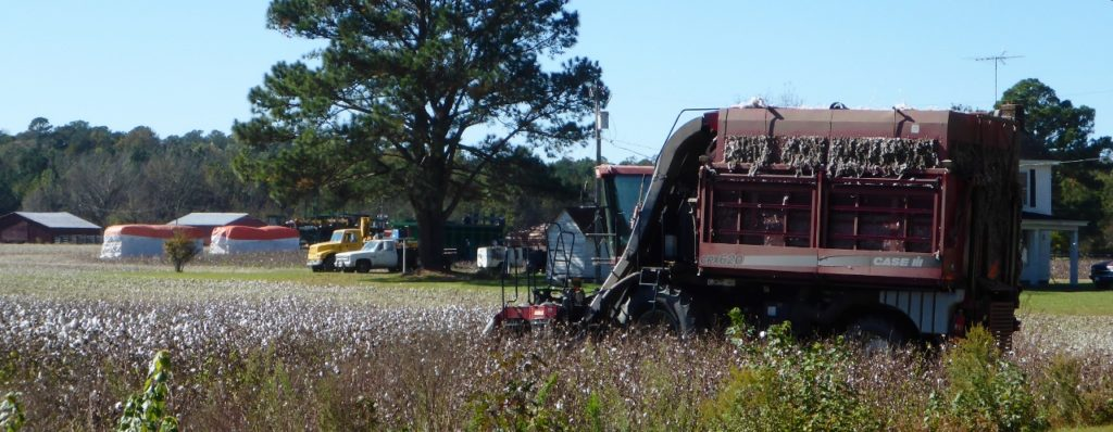 Harvesting cotton.
